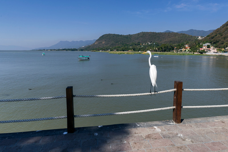 Giant egret (Ardea alba) looking out over Lake Chapala from the Malecon, Chapala, Mexico