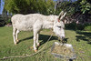 Martini the white burro, the son of Vina Blanca, Yves Restaurant, Ajijic, Mexico