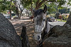 Ajijic horse by a tree, Lake Chapala, Mexico
