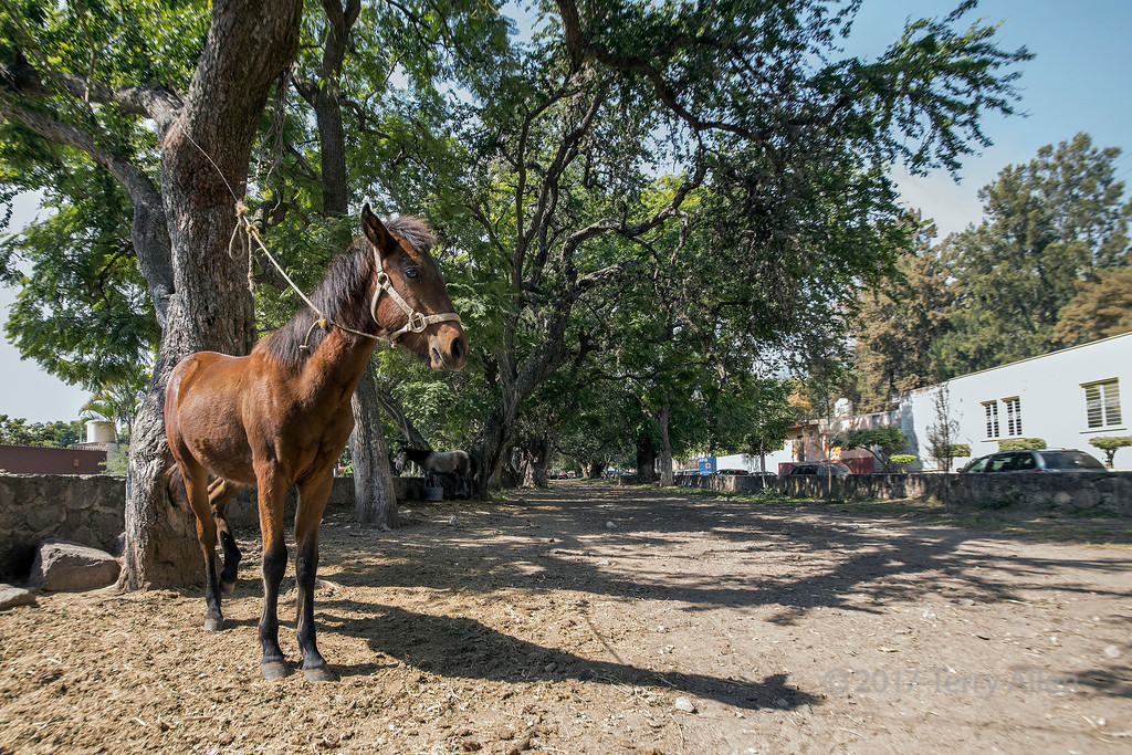 Chestnut horse and shadow on a sunny hot day, Camino Real, Ajijic, Lake Chapala, Mexico