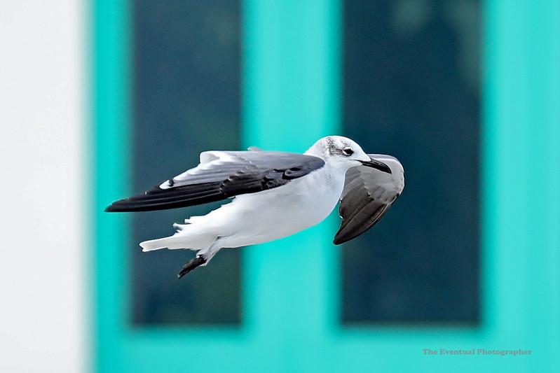 Riviera Maya Seagull on the Wing Marked