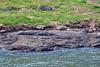 Sunning Saltwater Croc