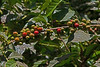 Pure Arabica Coffee Nearing Harvest Time