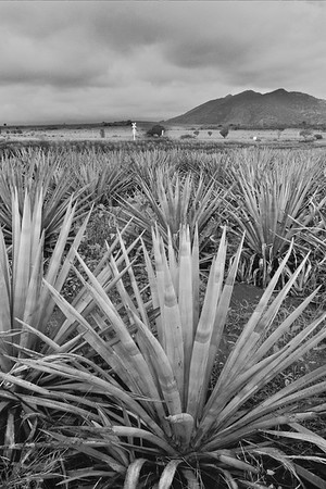 Blue Agave, The Valley of Tequila by fine art photographer Pat Fontes