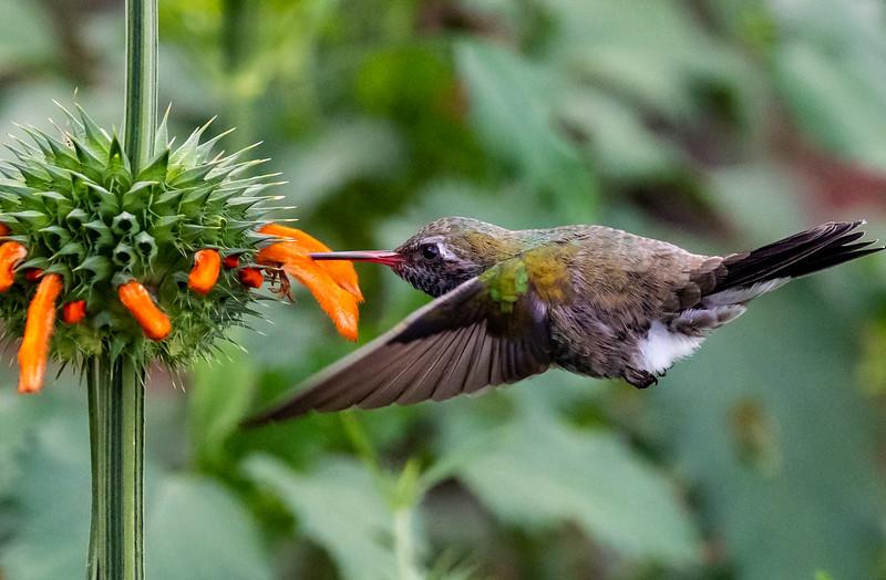 Hummingbird - San Miguel de Allende