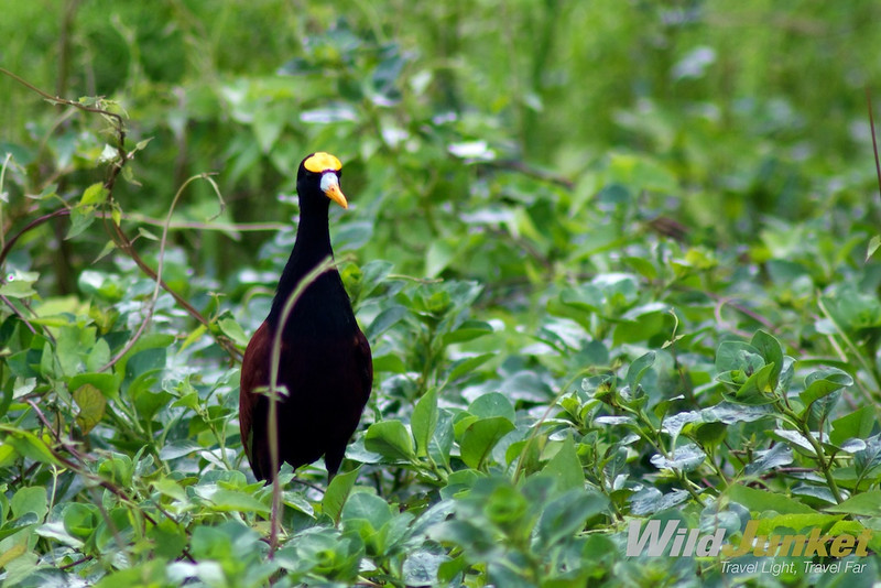 the northern jacana
