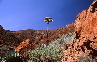 Century plant (Agave sebastiana)