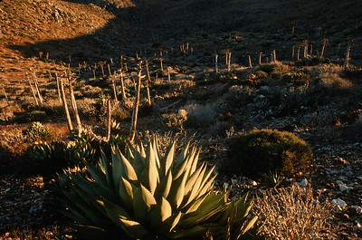 Century Plant (Agave sevastiana)