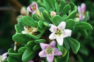 Frutilla (Lycium brevipes)
