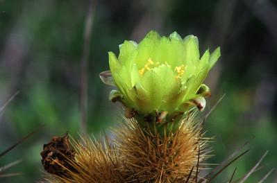 Snake cactus (Beregerocactus emoryl)