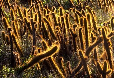 Todos Santos Island, Snake Cactus