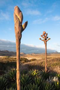 Century Plant -- Baja, Mexico