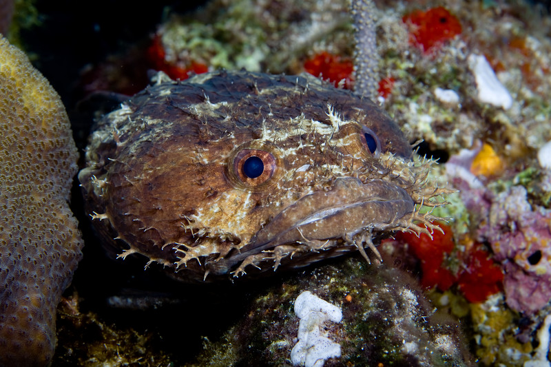 A toadfish, sitting on a rock at night.