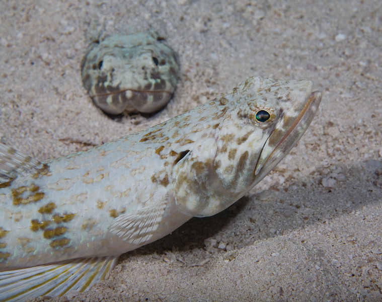 Two lizardfish.