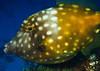 American whitespotted filefish