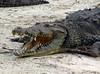 Crocodile, Cozumel
