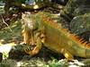 Iguana, Cozumel (2)