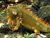 Iguana, Cozumel (3)