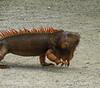 Iguana, Cozumel (1)