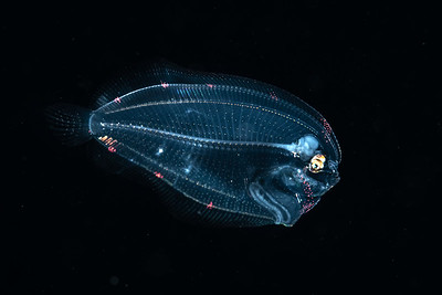 Larval Flounder photographed over deep water during a blackwater dive.