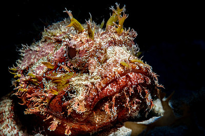 Spotted Scorpionfish (Scorpaena plumieri)