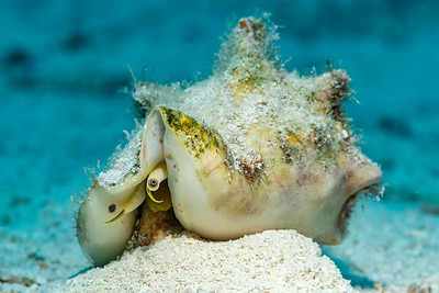 Milk Conch (Strombus costatus)