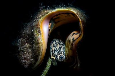 Queen Conch Eye (Lobatus gigas)