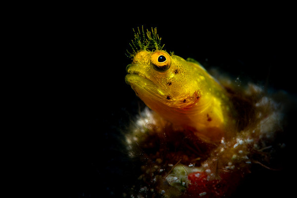 Roughhead Blenny (Acanthemblemaria aspera), female