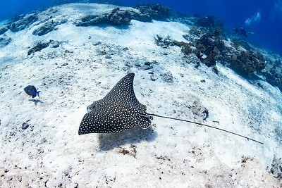 A beautiful Spotted Eagle Ray (Aetobatus narinari) soars over the sand in search of a meal while a pair of divers observe from the top of the reef.