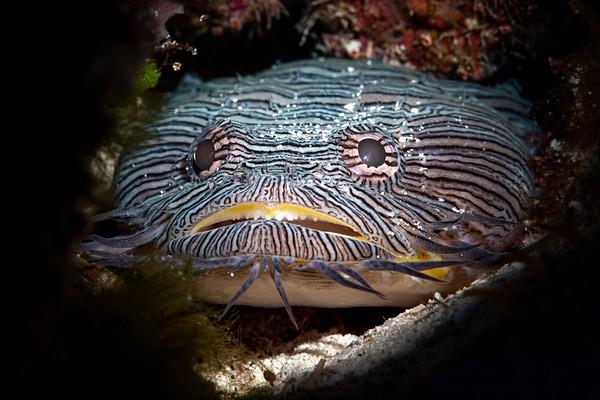 Splendid Toadfish (Sanopus splendidus), Endemic to Cozumel