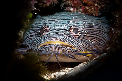 Splendid Toadfish (Sanopus splendidus), Endemic to Cozumel