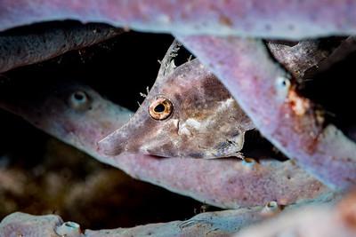 Juvenile Slender Filefish (Monacanthus tuckeri)