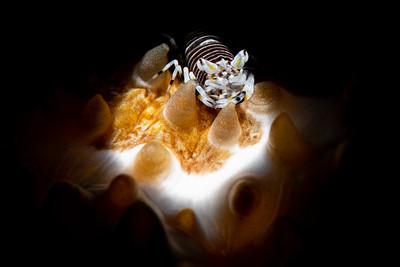 Striped Bumblebee Shrimp (Gnathophyllum americanum) on a Furry Sea Cucumber (Astichopus multifidus)