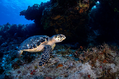 A hawksbill turtle (Eretmochelys imbricata) soars by near a large coral formation.