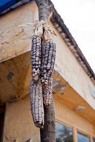 Dried ears of blue corn.