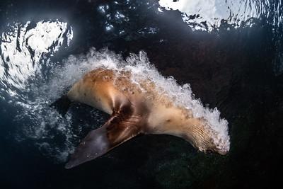 A California sea lion zooms past blowing bubbles. La Paz, Mexico