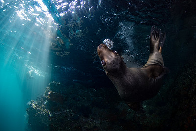 Curious Sealion