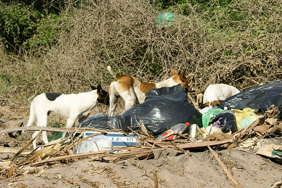 Dogs Foraging Amongst Garbage Bags