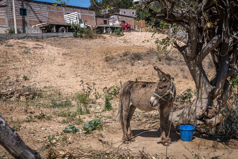 Teotitlan Donkey