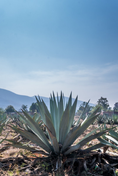 Agave and Sky