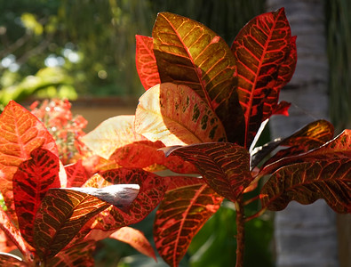Backlit Croton Leaves