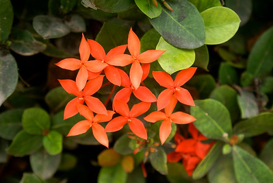 Red Ixora Cluster