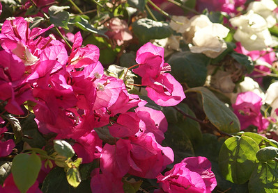 Magenta and White Bougainvillea
