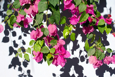 Pink Bougainvillea, Shadows, White Wall