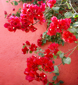 Crimson Bougainvillea and Pink Wall -1