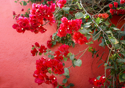 Crimson Bougainvillea and Pink Wall