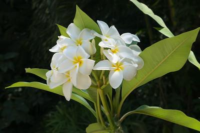 Frangipani (Plumeria rubra) Flowers