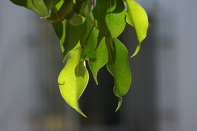 Backlit Ficus Leaves - 1