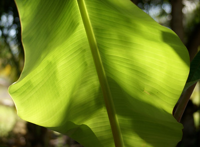 Backlit Banana Leaf - 3