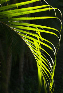 Backlit Frond of Areca Palm